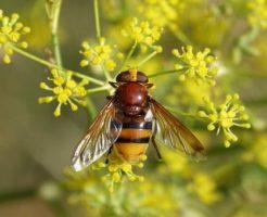 アブ 昆虫 大きさ 特徴