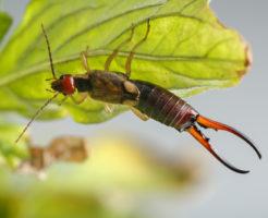 ハサミムシ 幼虫 駆除