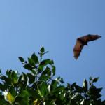 コウモリの飛ぶ高さや速さはどれくらい!?