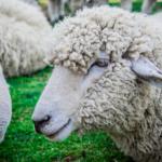 羊と牛の違いとは?革の違いは!?