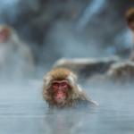 ニホンザルが冬に温泉に入る理由って何!?