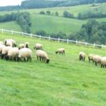 羊の群れにリーダーはいるのか!?群れの作り方は?