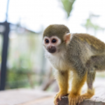 猿をペットとして飼う場合の寿命はどれくらい!?