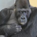 動物園でのゴリラの餌は何を与えているの?1日の量は!?
