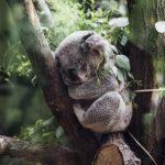 日本でコアラが見れる動物園は一体どこ!?抱っこはできる?