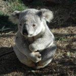 コアラの赤ちゃんの大きさや体重!見た目の特徴は?