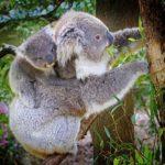 コアラの赤ちゃんは袋にいる間は何をしているの?
