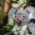 コアラの赤ちゃんって餌は何を食べるの!?