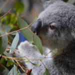 コアラとウォンバットの違いとは?祖先は何なの!?