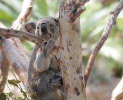 コアラ 抱っこ 国 爪