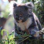 コアラの袋はオスには無い!臭いはどんな臭いなの?