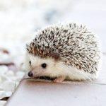 旅行中のハリネズミの留守番の方法!餌はどうするの!?