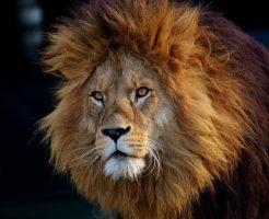 ライオン 野生 食べ物