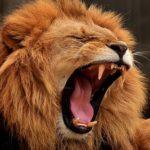 ライオンの鳴き声には意味がある!?鳴く意味は?