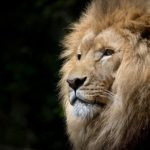 ライオンの名前の由来や英語では何と言う!?