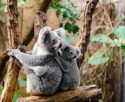 コアラ 動物 生態