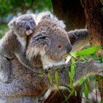 コアラの赤ちゃんは母親の糞を食べる!?