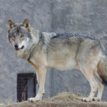 狼の尾の動きで感情を読み取ろう!