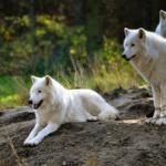 狼の群れでの移動距離はどれくらい!?