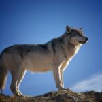 狼の英語の発音と名前の由来とは!?