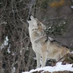 狼はなぜ遠吠えをするの!?距離はどこまで聞こえる!?