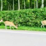 鹿の狩猟が解禁される時期は!?許可は必要!?
