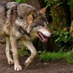狼とコヨーテの違いは?食べるって本当!?