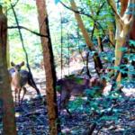 野生の鹿の性格は?攻撃的な時期はいつ?