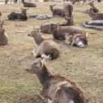鹿が増加問題について!対策方法は!?