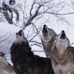 狼の鳴き声ってどんなの!?鳴く意味は!?