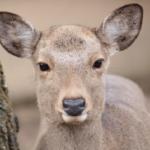 鹿の目の特徴や動物の目が光る理由って何!?