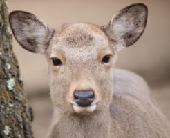 鹿 動物 目