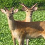 鹿の基本の捕獲方法とは!?