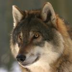 狼の狩りの方法や成功率とは!?