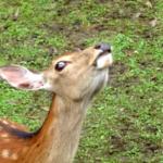 鹿の年齢は歯で見分けられる!?人間に換算すると何歳!?