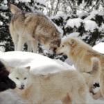 狼の群れのリーダーや順位はどうやって決まるの!?