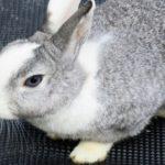 うさぎの耳の長さについて!長い耳にはどんな役割があるの?