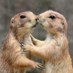 プレーリードッグのキスにはあいさつの意味がある!?