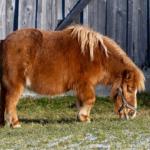 小型馬ファラベラはペットとして飼えるの?