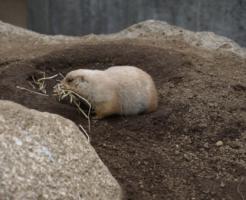 プレーリードッグ 日本 動物園