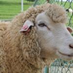 羊の目が横長をしている理由とは!?