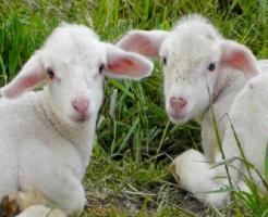 羊 赤ちゃん 体重 大きさ