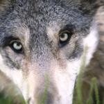 狼の目ってどんな見え方をしているの!?