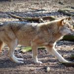 狼の体長や体高ってどれくらい!?