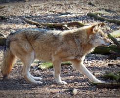 狼 体長 体高