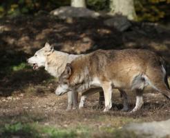 狼 生態 子育て オス
