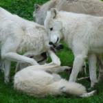 狼は相手を噛む事で愛情表現を表している!?