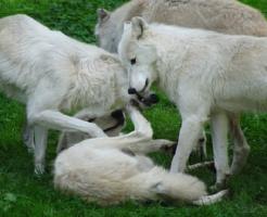狼 噛む 愛情