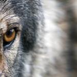 狼の目の特徴!暗闇で光る!?