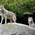 狼の世界の分布や数とは!?